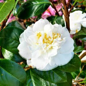 White Camelia Flower